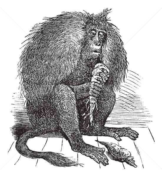 Vintage бабуин старые иллюстрация Сток-фото © Morphart