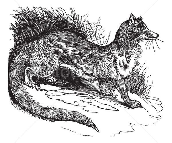 Rusty-spotted Genet or Genetta maculata vintage engraving     Stock photo © Morphart