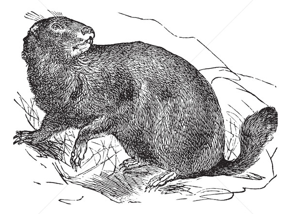 Alpine Marmot or Marmota marmota vintage engraving Stock photo © Morphart