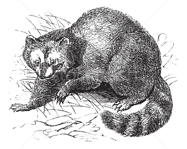 Raccoon or Procyon lotor vintage engraving Stock photo © Morphart
