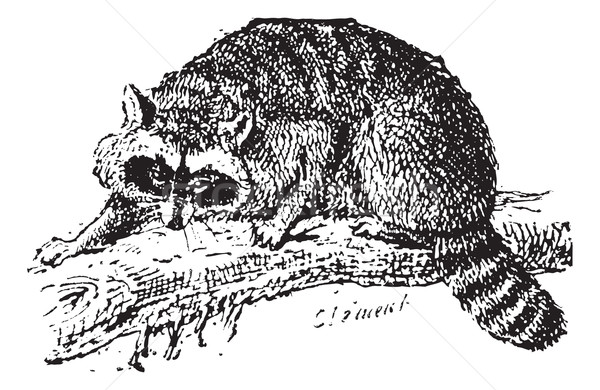 Raccoon or Common Raccoon, vintage engraving. Stock photo © Morphart
