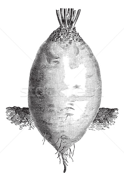 The ovoid shape Yellow Beet or Beta vulgaris vintage engraving Stock photo © Morphart