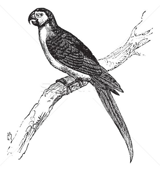 The Blue-and-Yellow Macaw or Ara ararauna vintage engraving. Stock photo © Morphart