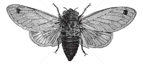 Seventeen-Year Cicada or Magicicada cassini or Magicicada septen Stock photo © Morphart