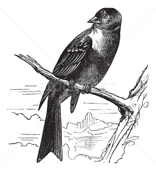 Pássaro vintage gravado ilustração enciclopédia fundo Foto stock © Morphart