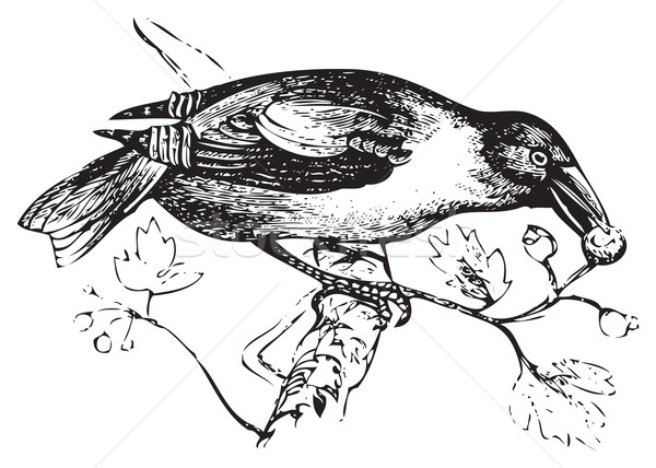 An old engraving of a hawfinch or grosbeak eating Stock photo © Morphart