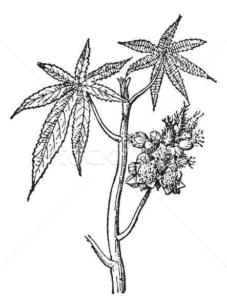Castor common or Castor oil plant, vintage engraving. Stock photo © Morphart