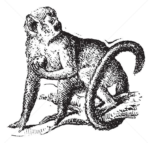 Squirrel monkey or Saimiri, vintage engraving. Stock photo © Morphart