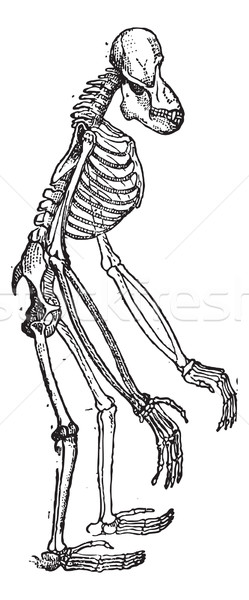 Iskelet orangutan bağbozumu oyma eski oyulmuş Stok fotoğraf © Morphart