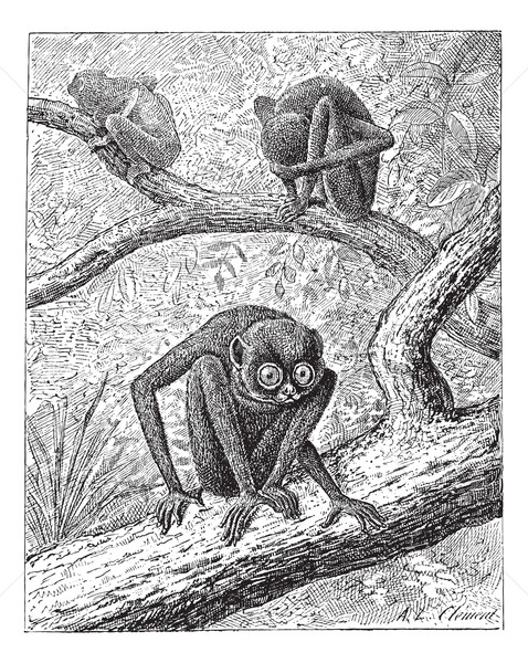 Red Slender Loris or Loris tardigradus, vintage engraving Stock photo © Morphart
