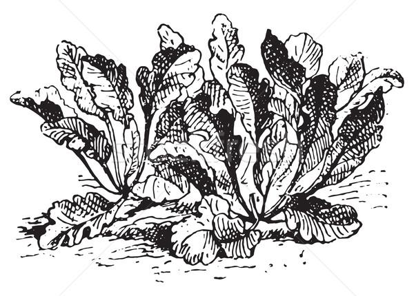 Lepidium latifolium, vintage engraving. Stock photo © Morphart