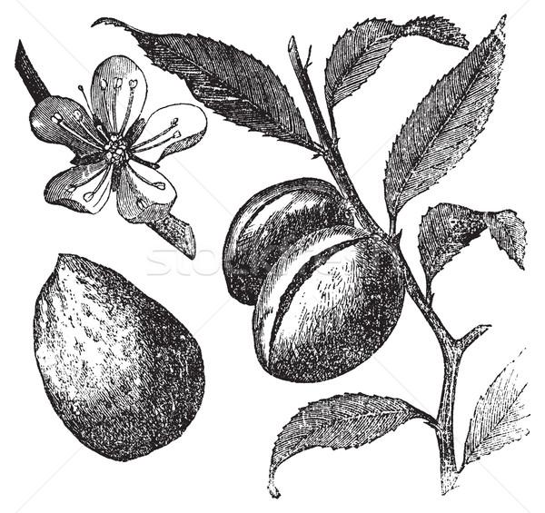 The Almond tree or prunus dulcis vintage engraving. Fruit, flowe Stock photo © Morphart