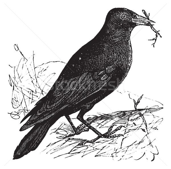 Jackdaw or Corvus monedula vintage engraving Stock photo © Morphart