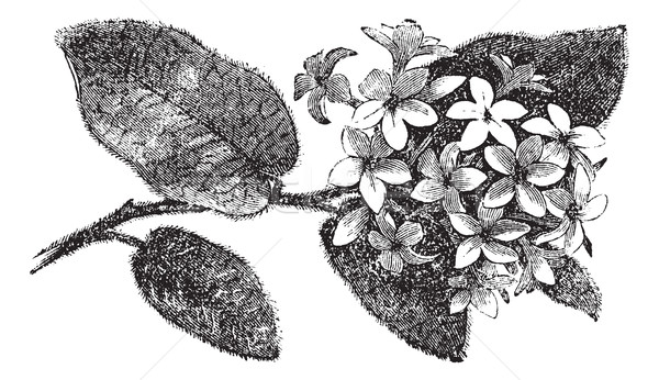 Mayflower or Trailing Arbutus or Epigaea repens, vintage engravi Stock photo © Morphart