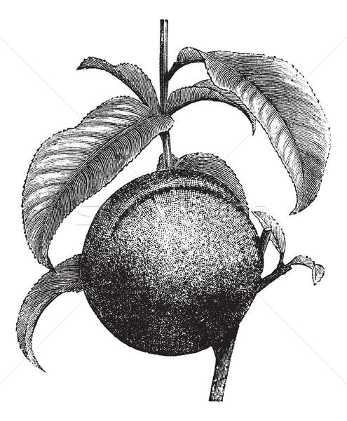 Peach or Prunus persica, vintage engraving Stock photo © Morphart