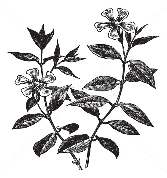 Periwinkle or Vinca minor, vintage engraving Stock photo © Morphart