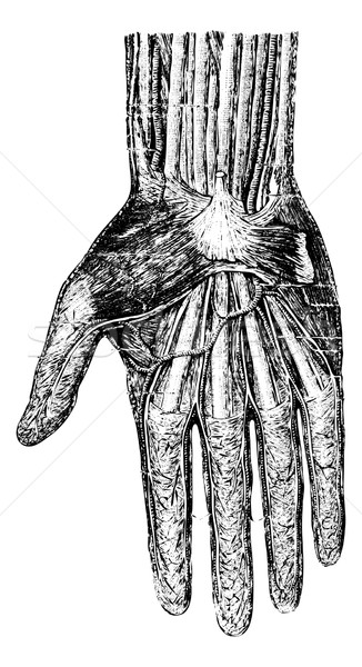 Surface layer of the hand (palmar surface), vintage engraving. Stock photo © Morphart