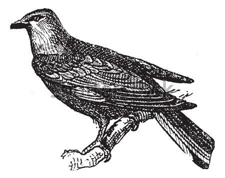 Starling, vintage engraving. Stock photo © Morphart