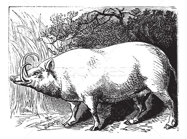 The Babirusa or Pig-deer. Vintage engraving. Stock photo © Morphart