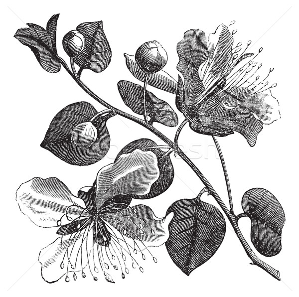 Common caper or Capparis spinosa vintage engraving Stock photo © Morphart