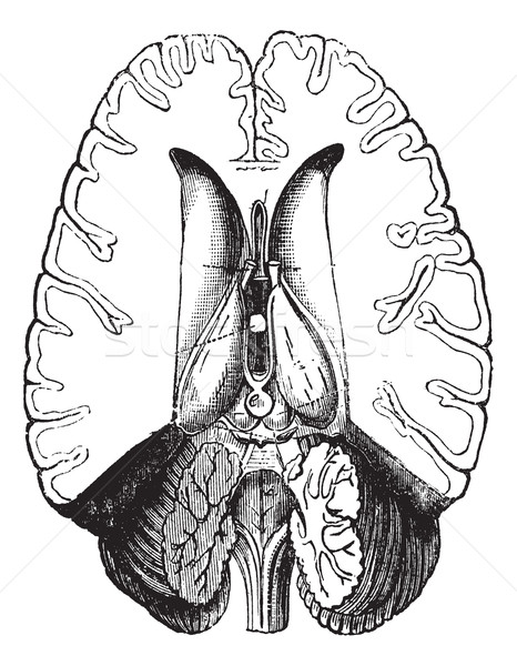 Cérebro humano cortar mostrar interno vintage Foto stock © Morphart