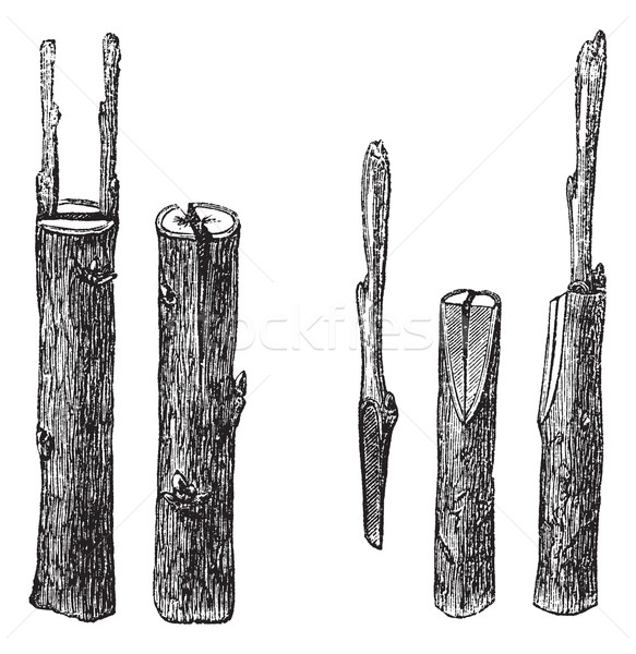 Stock photo: Cleft grafting, vintage engraving