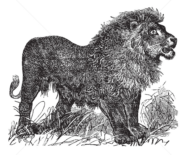 African Lion vintage engraving Stock photo © Morphart