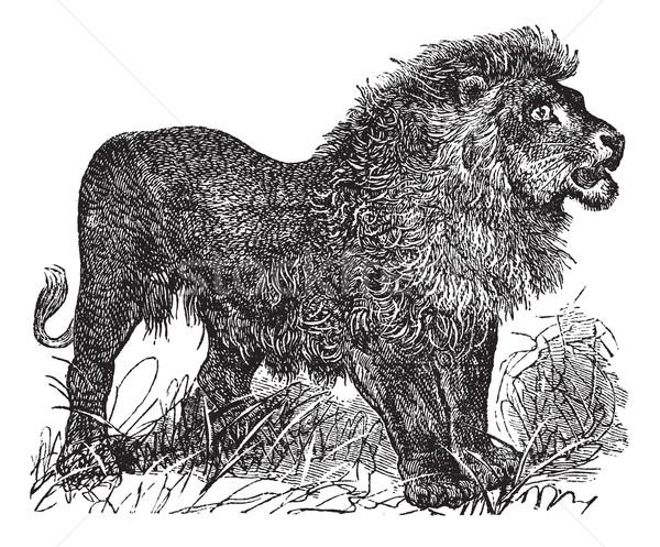 Afrika aslan bağbozumu oyma oyulmuş örnek Stok fotoğraf © Morphart