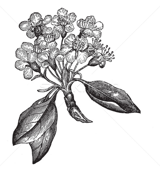 Pear or Pyrus sp., vintage engraving Stock photo © Morphart