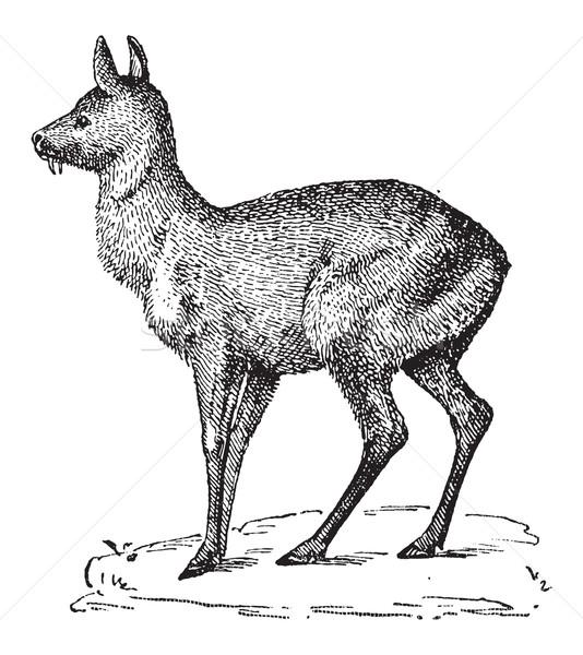 Siberian Musk Deer or Moschus moschiferus, vintage engraving Stock photo © Morphart