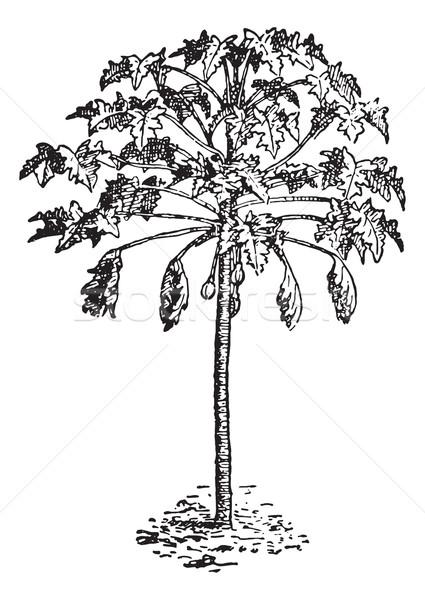 Papaya or Papaw, vintage engraving. Stock photo © Morphart