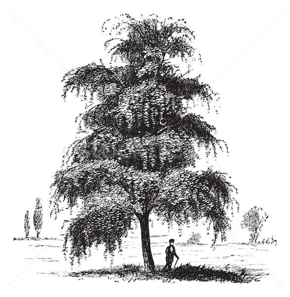 Birch or Betula, tree, vintage engraving. Stock photo © Morphart