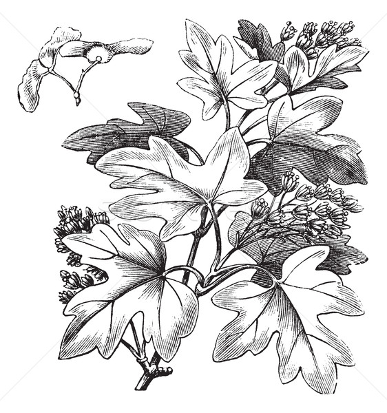 Field Maple or Hedge Maple or Acer campestre, vintage engraving Stock photo © Morphart