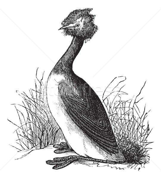 Great Crested Grebe or Podiceps cristatus vintage engraving Stock photo © Morphart