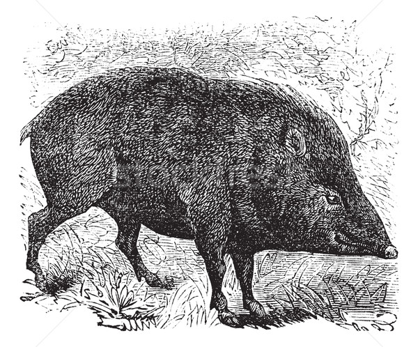 Collared peccary or Pecari tajacu vintage engraving Stock photo © Morphart