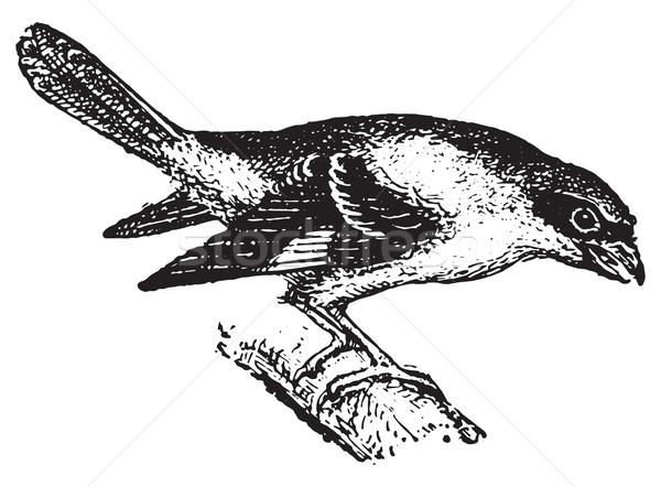 Shrike, vintage engraving. Stock photo © Morphart
