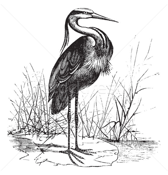 Common European heron (Ardea cinerea) or Grey heron vintage engr Stock photo © Morphart