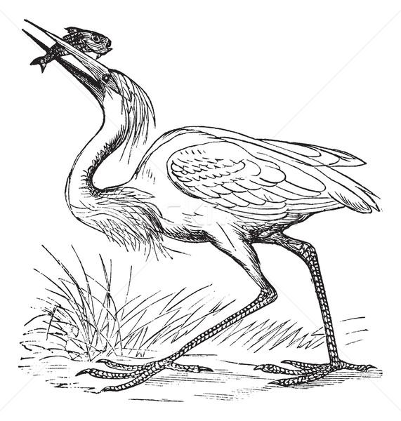 Great White Heron (Ardea occidentalis) vintage engraving Stock photo © Morphart