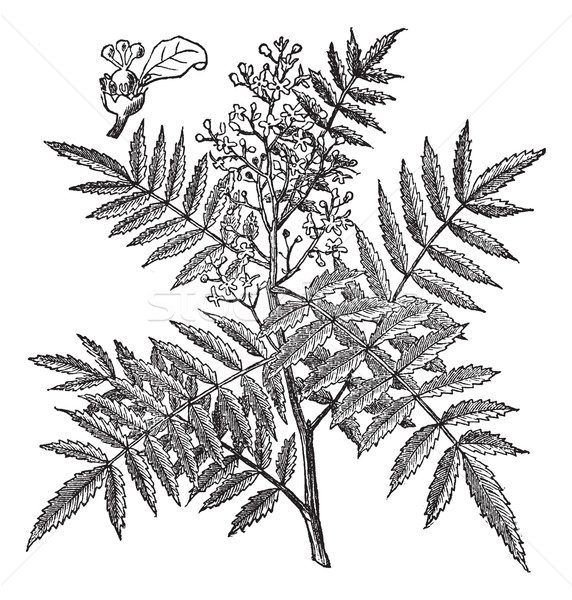 Schine soft (Schinus molle), vintage engraving. Stock photo © Morphart