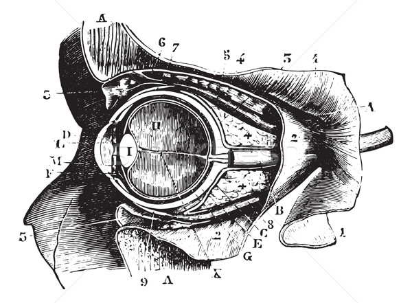 Section perpendicular to the orbit and eyeball, vintage engravin Stock photo © Morphart