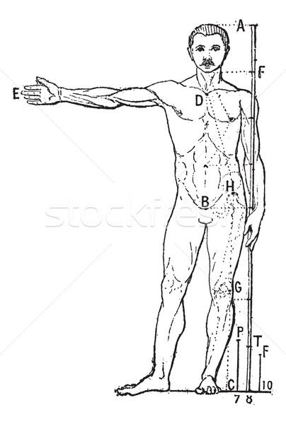 Human proportions, vintage engraving. Stock photo © Morphart