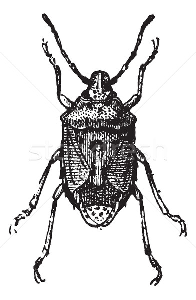 Fig 13. Bug, vintage engraving. Stock photo © Morphart