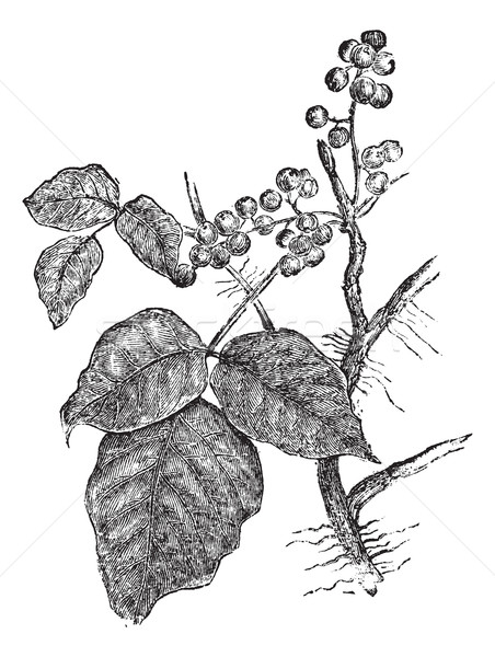 Stock photo: Poison ivy (Rhus Toxicodendron), vintage engraving.