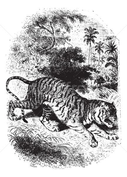 Tigris erdő klasszikus vésés vad gravírozott Stock fotó © Morphart