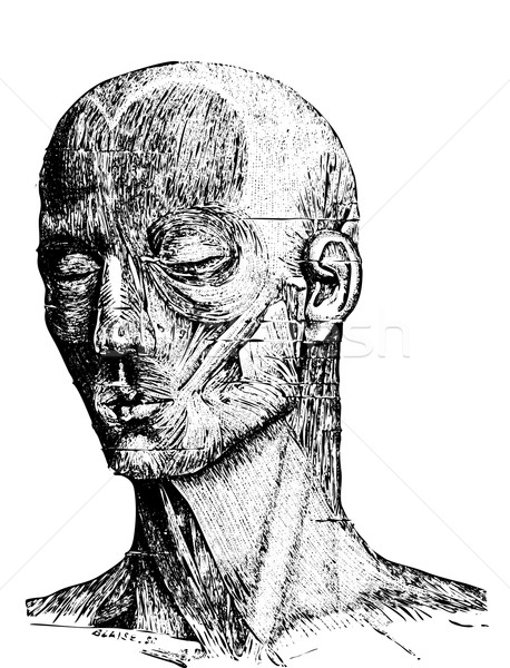 Muscles of the Human Face, vintage engraving Stock photo © Morphart
