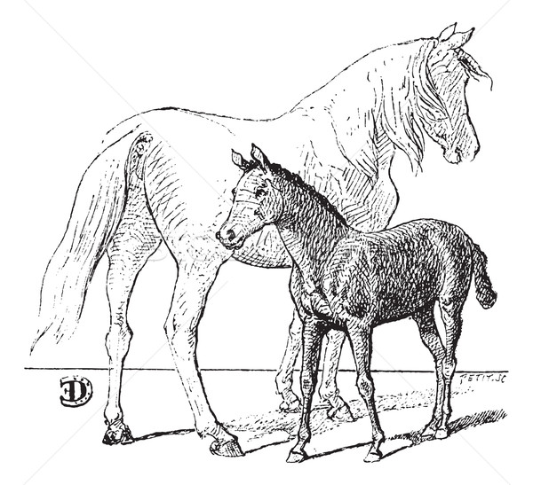 Stock photo: Foal, vintage engraving.