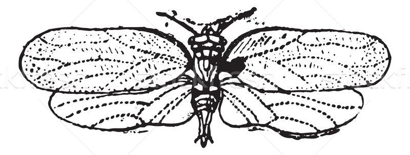Psyllids or jumping plant lice, vintage engraving. Stock photo © Morphart