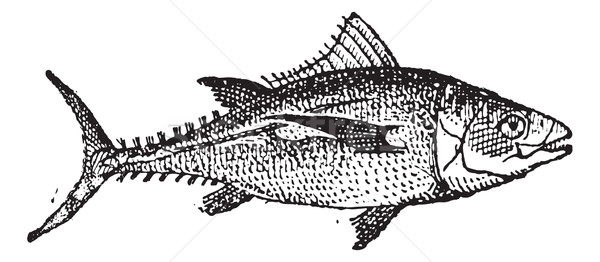 Atum vintage peixe branco gravado Foto stock © Morphart