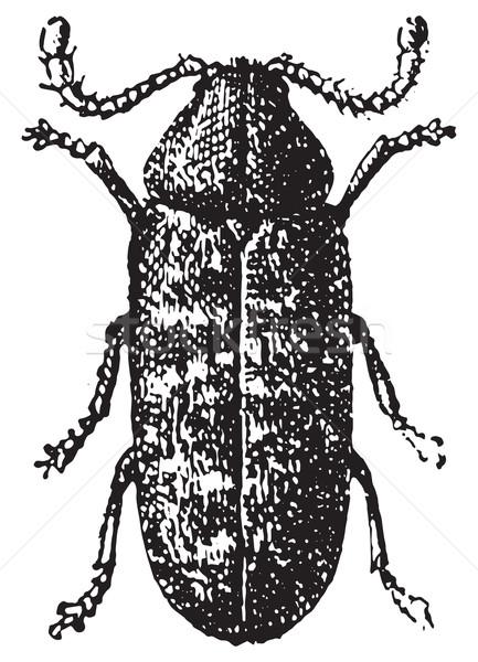 Beetle, Anobium tessellatum, vintage engraving.f Stock photo © Morphart
