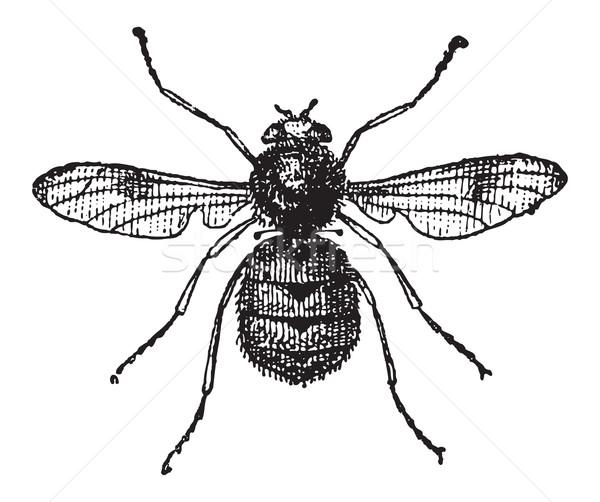 Botfly or Oestridae, vintage engraving Stock photo © Morphart